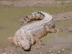 SaltwaterCrocodile