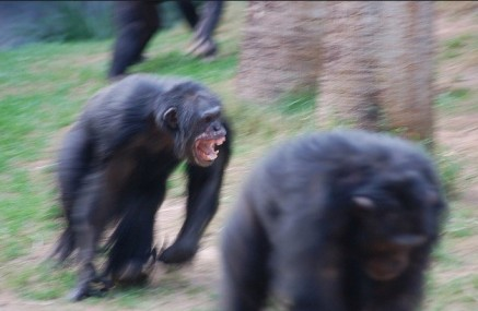 chimpfight