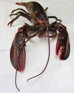 lobster-750841_1280