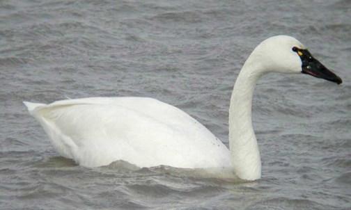 Tundra_Swan