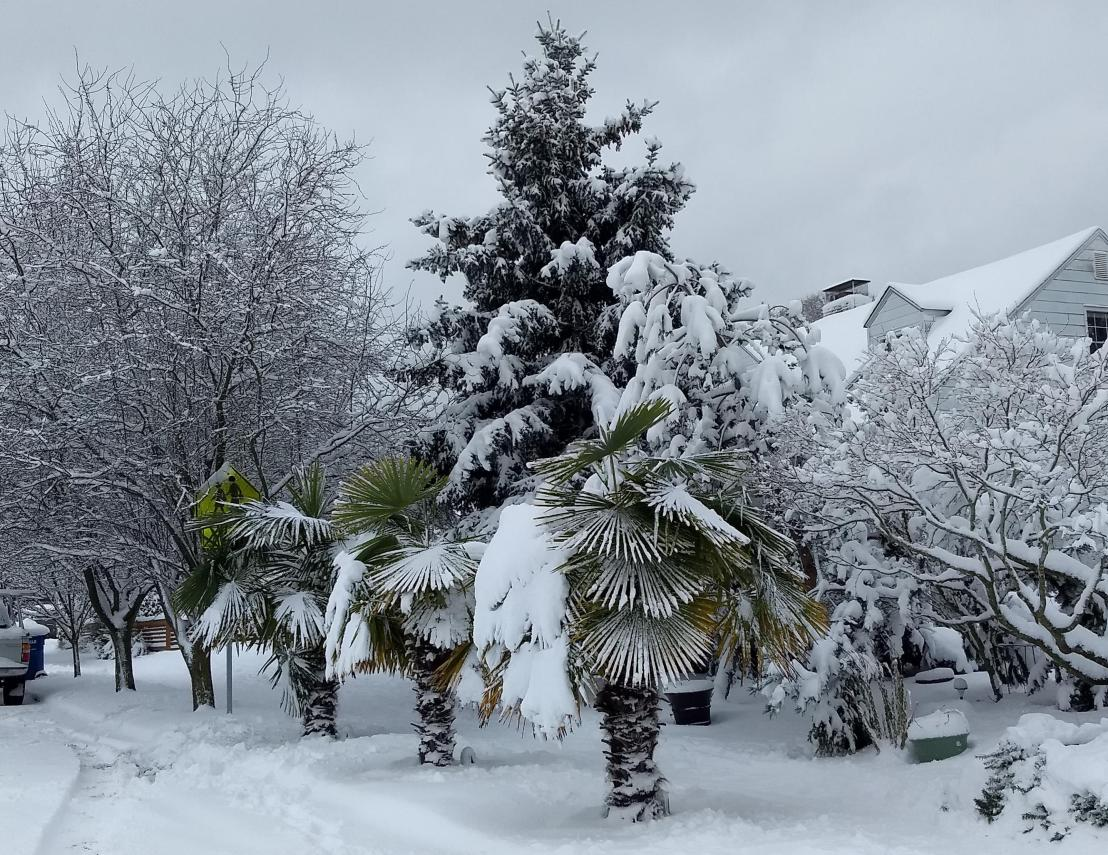 palm trees in snow